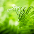 Fern leaves, the close up — Stock Photo #47260461