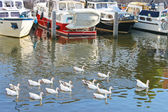 Flock of geese swims in the canal of Netherlands — Стоковое фото