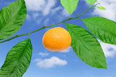 Tangerine on a branch against the sky — Stock Photo