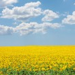 Sunflower on summer field against the blue cloudy sky — Stock Photo