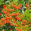 Stock Photo: Brush of red berries pyracanthon bush