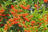 Brush of red berries pyracantha on a bush — Stock Photo
