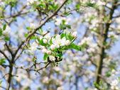 Flower apple-tree bright white illuminated by a bright ray of the spring sun — Stock Photo