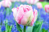 Pink tulips in garden — Stock Photo