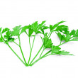 Isolated bunch curly parsley on white background — Stock Photo