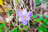 Violet Crocus flower — Stock Photo