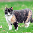 Beautiful, colorful calico cat in grass — Stock Photo #44846345