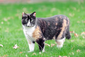 Beautiful, colorful calico cat in grass — Stock Photo