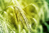 Wheat field evening time toned — Stock Photo
