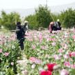 Security officials destroy opium poppy in field during campaign at Gulistin Chaman — Stock Photo #24165759