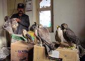 Sindh Wild Life Department official shows Eagles, who were being smuggled from Dera Ismail Khan to Karachi, during a press conference — Stock Photo