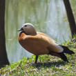 Stockfoto: Ruddy shelduck