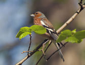 Chaffinch — Stock Photo