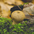 Puffball mushroom ( Lycoperdon pyriforme) — Stock Photo