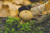 гриб дождевик (дождевик шиповатый) — Стоковое фото
