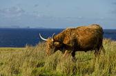 Scotish highland cow — Stockfoto
