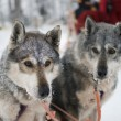 Two sled dog huskys — Stock Photo