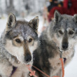 Stock Photo: Two sled dog huskys