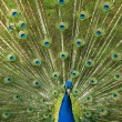 Peacock shows the beautiful bright plumage — Stok fotoğraf