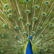 Peacock shows the beautiful bright plumage — Stock Photo