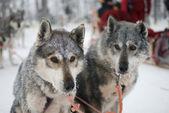 Dva sáňkovat pes huskys — Stock fotografie