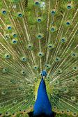 Peacock visar vackra ljusa fjäderdräkten — Stockfoto