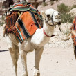 White camel — Stockfoto
