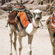 Stockfoto: White camel