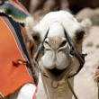 Foto de Stock  : Head of white camel