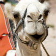 Head of the white camel — Stock Photo