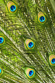 Peacock feathers closeup — Stockfoto