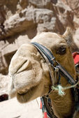 Head of the camel — Stock Photo