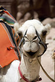 Head of the white camel — 图库照片