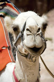Head of the white camel — Foto Stock
