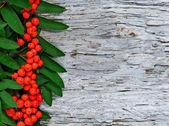 Red rowan berries background — Stock Photo