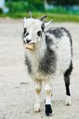 Goat eating bread — Stockfoto