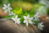 White spring flowers on the old wood — Stock Photo