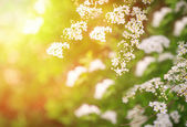 White spring flowers on the tree branches — Stock Photo