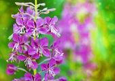Beautiful violet flower — Stock Photo