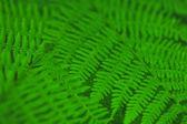 Fern leaves background — Stock Photo