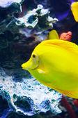 Zebrasoma 魚が水中に浮遊 — ストック写真
