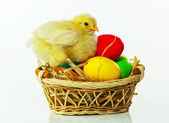 Basket with the Easter eggs and small chicken — Stock Photo