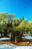 Gethsemane garden in Jerusalem — Stock Photo