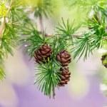 conos de pino en una rama de árbol — Foto de Stock