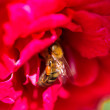 Stock Photo: Bee gathering pollen on red rose