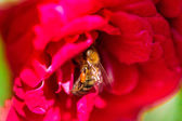 Bee gathering pollen on red rose — Stock Photo