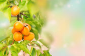 Ripe apricots growing on a branch — Стоковое фото