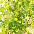 Stock Photo: Fresh ripe green apples on branch