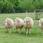Sheeps in sheep farm — Stock Photo #26745247