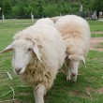 Sheeps in sheep farm — Stock Photo #26745597